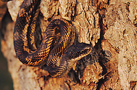 Texas Rat Snake, Elaphe obsoleta lindheimeri, adult, Lake Corpus Christi, Texas, USA, May 2003
