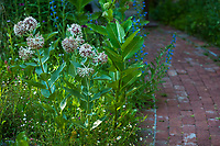 Asclepias speciosa, Showy milkweed flowering California native perennial in habitat garden at Marin Art and Garden Center