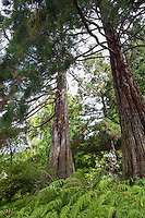Metasequoia glyptostroboides, Dawn Redwood tree University of California Berkeley Botanical Garden