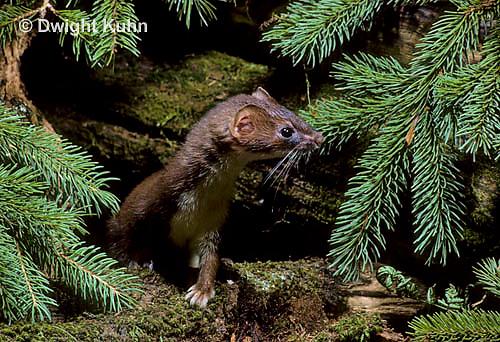 MA21-037z   Long-Tailed Weasel - summer brown coat - Mustela frenata