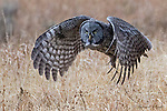 Yellowstone Great Gray Owl