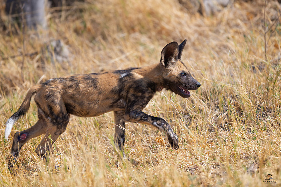 "The excitement is palpable for a young male dog as he chases down his pack. At 8-10 weeks old, African Wild Dog (Lycaon pictus) pups are out of the den and eating solid food. Their biggest challenge at this age is keeping up with the pack. Also called ""Painted Wolves,"" this species is highly social. Typical litter size is 6-16 puppies, with 10 being average. We encountered a pack with 11 puppies, including this male, just old enough to be out of the den and trying to keep up. Not sure how he injured his rear leg."