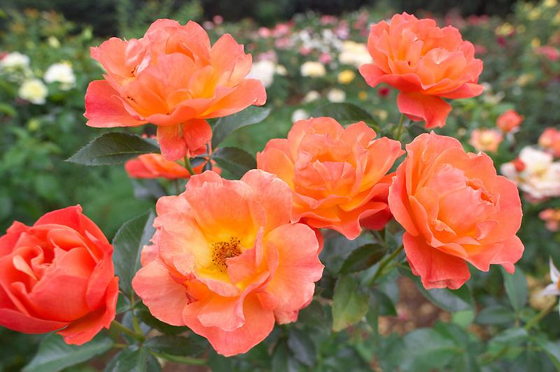 Livin' Easy rose. Heirloom Gardens. Oregon