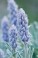 Frosted lupine wildflower.  Wyoming.