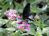 Stock photo: A Black Costa rica butterfly  fluttering perched over tiny pink flowers in garden.