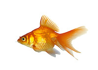 Small golden colored carp with transparent tail and fins.