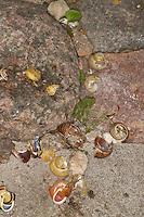 Drosselschmiede, Drossel-Schiede, Singdrossel, Drossel hat Schnirkelschnecken auf einem Stein zerschlagen und gefressen, Schnecken-Gehäuse, Turdus philomelos, Song Thrush, Grive musicienne