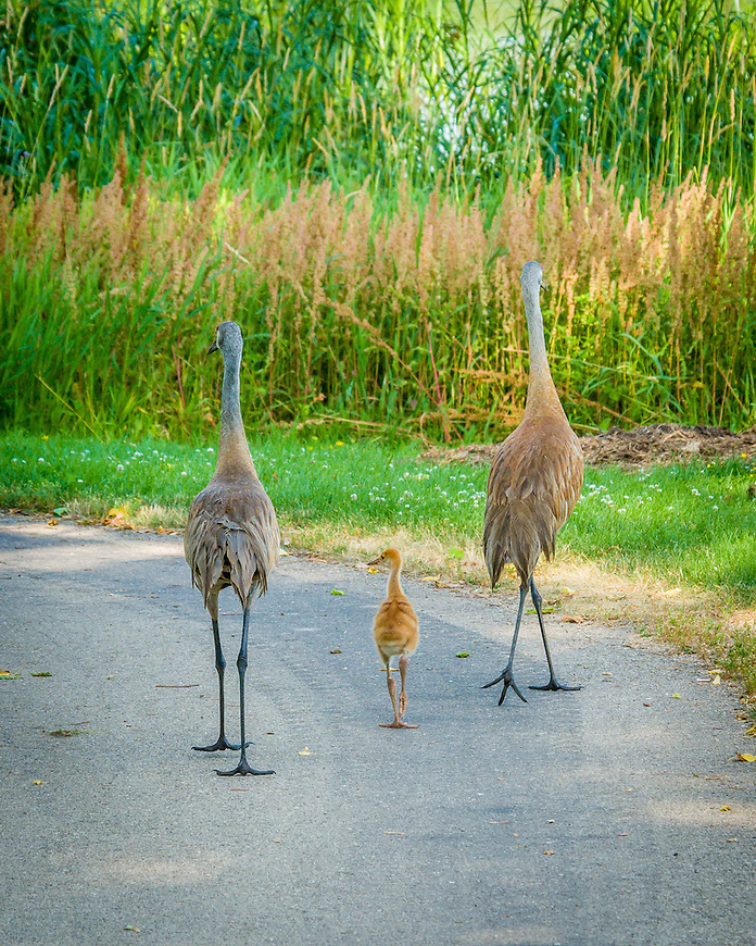 """This charming Sandhill Crane family walked away with First Place in the """"Focus on Wildlife"""" photography contest sponsored by the Dane County Human Society Four Lakes Wildlife Center. It was also published in the June, 2013 edition of Wisconsin Naural Resources magazine."""