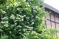 Schwarzer Holunder, Holderbusch, Holler, Fliederbeeren, Fliederbeere, Sambucus nigra, Common Elder, Elder, Elderberry, Sureau commun, Sureau noir