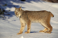 Lynx. Winter.  North America. (Felis lynx canadensis).