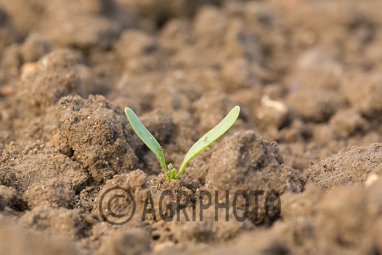 Young sugar beet plant<br /> Picture Tim Scrivener 07850 303986