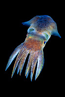 bobtail squid, Squid, Rossia macrosoma, Bergen, Hordaland, Norway, North Atlantic Ocean