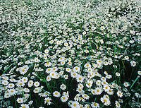 Oxeye Daisy, Leucanthemum vulgare, blooming, Fretterans, France, Europe