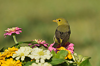 Scarlet Tanager (Piranga olivacea), adult female on Zinnia flowers, South Padre Island, Texas, USA