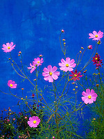 Pink Cosmos flowers stood in a bright contrast to the vivid blue wall on a building in Sibiu, Romania.  There is a small bee in the center flower.  Taken at the Astra Outdoor Museum Complex near Sibiu, Romania.