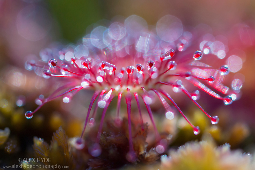 Round-leaved sundew (Drosera rotundifolia) showing sticky droplets on the end of glandular hairs that trap insects. Nordtirol, Austrian Alps, Austria, July.