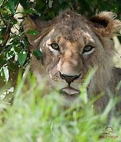 Young male Lion (Panthera leo) under a tree, Masai Mara