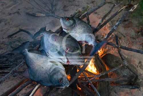 Pará State, Brazil. Three piranha fish grilling on an open fire.