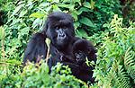 Mountain Gorilla and baby, Volcanoes National Park, Rwanda