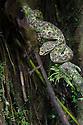 Eyelash Pit Viper {Bothriechis schlegelii} Corcovado National Park, Osa Peninsula, Costa Rica, May.