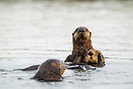 Sea Otter (Enhydra lutris) pup dragging mother away from male, Elkhorn Slough, Monterey Bay, California