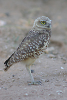 Burrowing Owl seen on the ground near the nest, a hole in the ground.