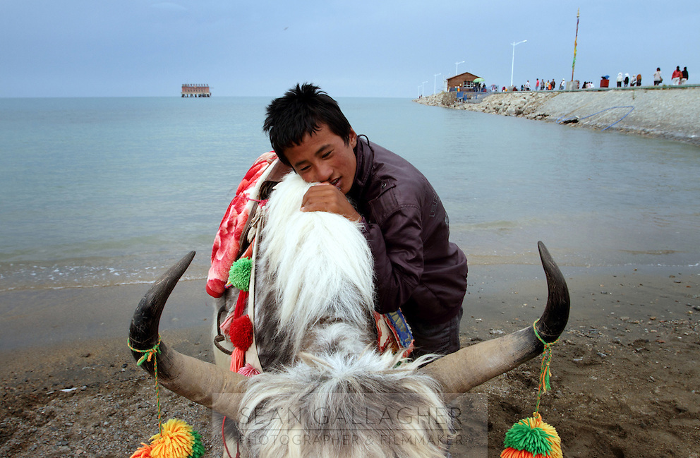 A young Tibetan man embraces his yak on the shore of Qinghai Lake. Qinghai Lake, China's largest inland body of water lies at over 3000m on the Qinghai-Tibetan Plateau. The lake has been shrinking in recent decades, as a result of increased water-usage for local agriculture. Qinghai Province. China. 2010