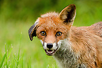 Adorable droopy eared fox poses for the camera by Paul Browning