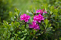 Rostblättrige Alpenrose, Rostrote Alpenrose, Alpenrose, Rostroter Almrausch, Almrausch, Almrose, Alpen-Rose, Rhododendron ferrugineum, alpenrose, snow-rose, rusty-leaved alpenrose, rusty-leaved alprose, Le Rhododendron ferrugineux, le Laurier-rose des Alpes, le Rosage, le Rose des Alpes