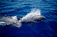 melon-headed whales, Peponocephala electra, Hawaii, Pacific Ocean