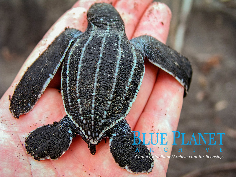leatherback sea turtle hatchling, Dermochelys coriacea, being held in hand, Dominica, Caribbean, Atlantic, Ocean