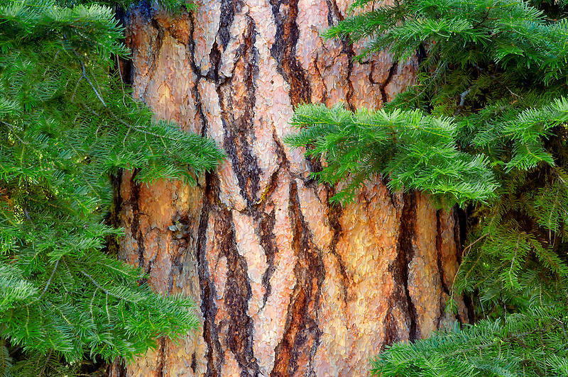 Ponderosa Pine with White Fir branches. Hell's Canyon National Recreation Area. Oregon