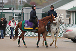 Pachattack, trained by Gerard Butler and to be ridden by Rajiv Maragh , exercises in preparation for the 2011 Breeders' Cup at Churchill Downs on November 4, 2011.