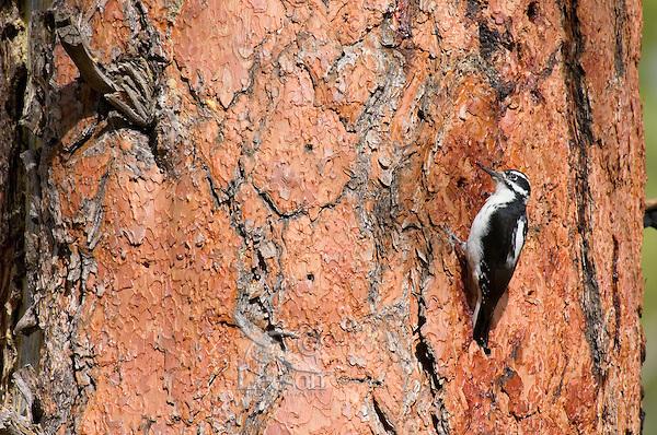 Hairy Woodpecker (Picoides villosus) on side of ponderosa pine tree.  Western U.S.