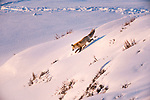 Red Fox (Vulpes vulpes) hunting in deep snow. Hayden Valley, Yellowstone National Park, Wyoming, USA. January.