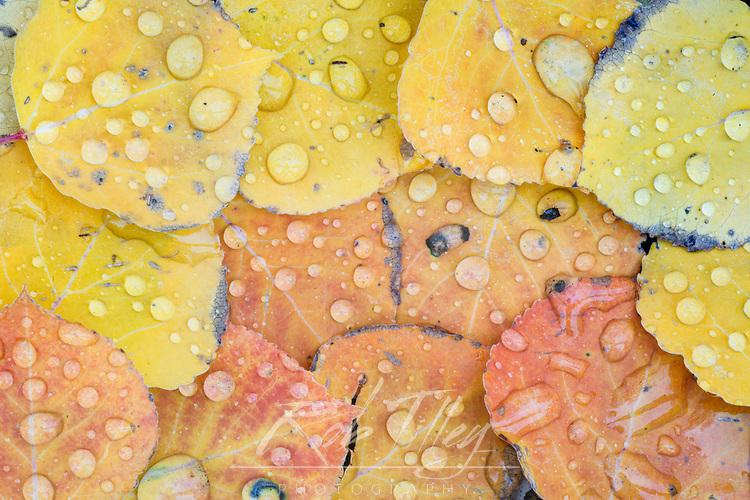 US, CO, Gunnison NF, Waterdrops on Aspen Leaves