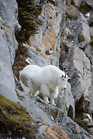Male mountain goat (Oreamnos americanus), Fall.  Northern Rockies.