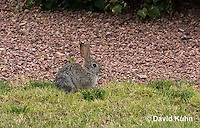 0717-1002  Desert Cottontail Rabbit (Audubons Cottontail), Sylvilagus audubonii  © David Kuhn/Dwight Kuhn Photography