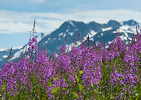 Fireweed blooms as summer ends in South Central Alaska. When the blossoms reach the top of the stem, the first snows will come soon.