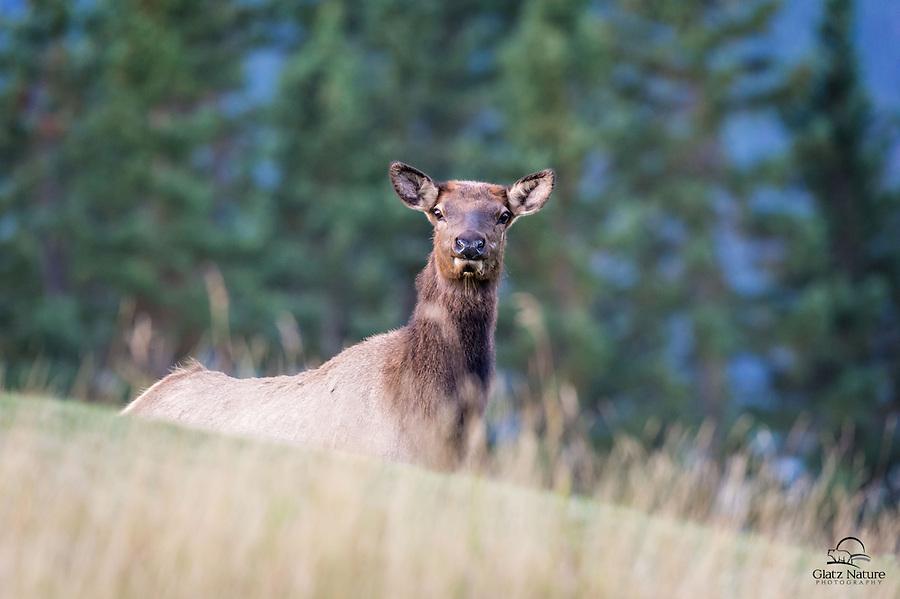 Eye contact with cow Elk (Cervus canadensis), Banff National Park, Alberta, Canada.