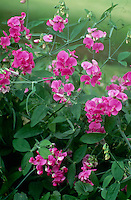 Pink sweet peas blooming