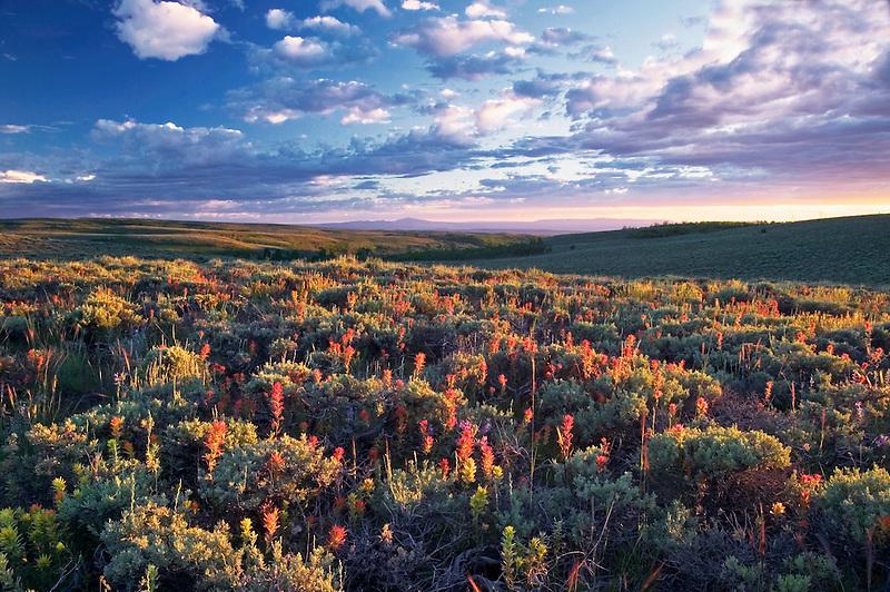 Indian Paintbrush wildflowers and sagebrush at Steens Mountain, Oregon