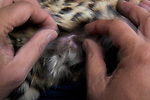 Black-footed Cat (Felis nigripes) biologist, Alex Sliwa, examining teat during collaring of female, Benfontein Nature Reserve, South Africa