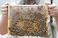 A brood frame with honey from a frame deep within the body of a Warré hive.///Un cadre de couvain avec du miel d'un cadre de corps de ruche warré.