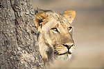 Adulescent male African Lion (Panthera leo)  near the Luangwa River. South Luangwa National Park, Zambia.