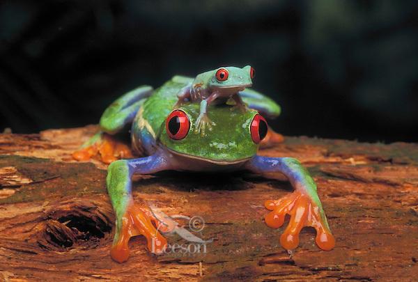 RED-EYED TREE FROG/Red-Eyed Leaf Frog & Young..Central America. Captive..Agalychnis callidryas.