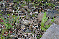 Killdeer (Charadrius vociferus) nest where several young have hatched.  Western U.S., Spring.