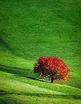 Italien, Suedtirol (Trentino - Alto Adige), Dolomiten, Villnoesstal: allein stehender Baum im Herbstkleid | Italy, South Tyrol (Trentino - Alto Adige), Villnoess Valley: single tree with autumn leaves