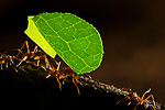Leaf-cutter Ant (Atta cephalotes) mediae workers carrying leaves, Osa Peninsula, Costa Rica