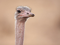 We had a few decent ostrich sightings on this trip… even chicks!